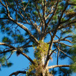 Tall pine tree branches — Stock Photo