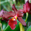 Two deep red orchids in bloom — Stock Photo #40117901