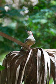 Red bellied woodpecker on palm frond — Stock Photo