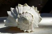 Larch conch shell outside — Stock Photo