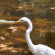Great White Heron profile against pond — Stock Photo