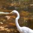 Great White Heron profile against pond — Stock Photo #41650071
