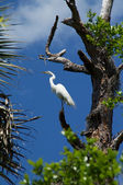 Great White Heron perched high in tree — Stock Photo