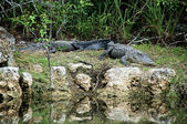 Two Alligators at rest on riverbank — Stock Photo
