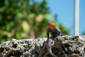 Red-headed rock agama lizard looking at viewer — Stock Photo