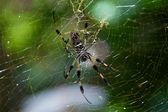 Golden Silk Spider and web — Stock Photo