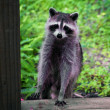 Curious raccoon standing on stair — Stock Photo #51671961
