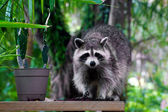 Wild raccoon looking at viewer — Stock Photo
