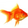 Goldfish — Stock Photo #9297022