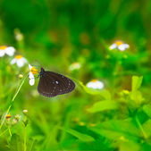 Black butterfly working on the flowers — Stock Photo