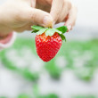 Hand holding strawberry — Stock fotografie
