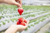 Mão segurando o morango com fundo de fazenda — Foto Stock