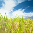Green rice field with cloud background — Stockfoto