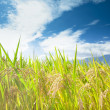 Green rice field with cloud background — Stock Photo