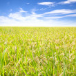Rice field with cloud background — Stockfoto