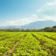 Green tea garden in taiwan. asia — Stock Photo