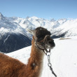 Llama on the mountain — Stok fotoğraf