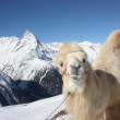Camel on the winter mountain - Stock Photo