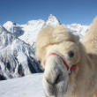Camel on the winter mountain - Stok fotoğraf