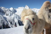 Camel on the winter mountain — Stock Photo