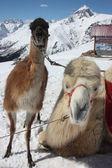 ラマとラクダ冬山中 — ストック写真