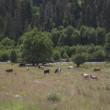 Cows in alpine meadows — Stock Photo