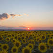 Evening sunset with red clouds on sunflowers — Stock Photo #29786841