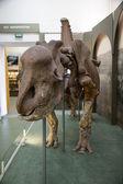 Rhinoceros skeletons, ancient history — Stock Photo