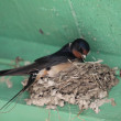 Swallow — Stock Photo #24314739