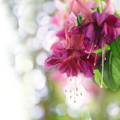 Pink fuchsia — Stock Photo