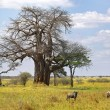 Stock Photo: Landscape with baobab tree