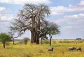 Landscape with a baobab tree — Stock Photo