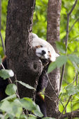 Lesser panda on tree — Stock Photo