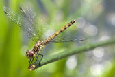 Dragonfly close up on green — Stock Photo