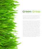 Fresh Green Grass with Drops Dew / isolated on white — Foto Stock