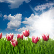 Stock Photo: Grass and Pink Tulip