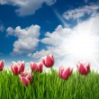 Grass and Pink Tulip — Stock Photo
