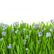Stock Photo: Blue flowers into green grass with water drops - isolated