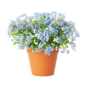 Forget-me-not flowers in pot isolated on white background — Stock Photo