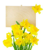 Narcissus ( Daffodil ) and Empty Sign for message - isolated — Stock Photo