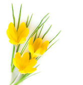 Spring Yellow Flowers isolated - Crocuses — Stock Photo