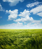 Greed Wheat Field and Blue Sky with Clouds — Stock Photo