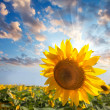 Sunflower against beautiful sky with sunbeam - summer — Stock Photo