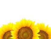 Border of large Sunflowers isolated on white - flowers frame — Stock Photo