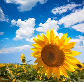 Sunflower and field against beautifu blue sky - summer — Stock Photo