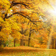 Gold Autumn with sunlight  - Beautiful Trees in the forest — Stock Photo