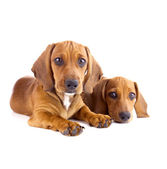Two cute Dachshund Puppies sitting - Isolated — Stock Photo