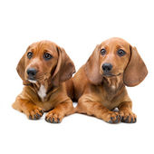 Isolated two Dachshund puppies - sitting — Stock Photo