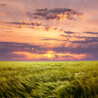 Stock Photo: Greed Wheat Field and Beautiful Sunset Sky