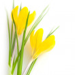 Beautiful Yellow Spring Flowers isolated - Crocus — Stock Photo #39510993